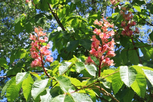 Aesculus hippocastanum (Horse chestnut) at the Halifax Public Gardens