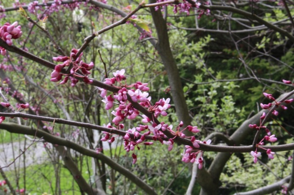 Cercis canadensis (Eastern redbud) at the Halifax Public Gardens