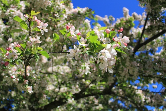Close up of a Malus (Crabapple tree) at the Halifax Public Gardens