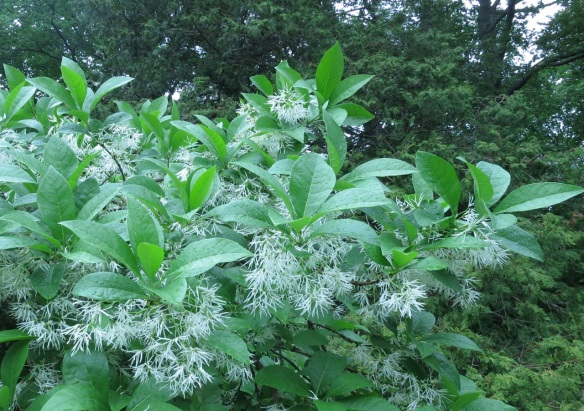 Chionanthus virginicus (White Fringetree) at the Halifax Public Gardens