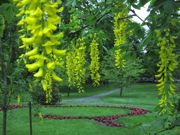 Laburnums (Golden Chain tree) at the Halifax Public Gardens