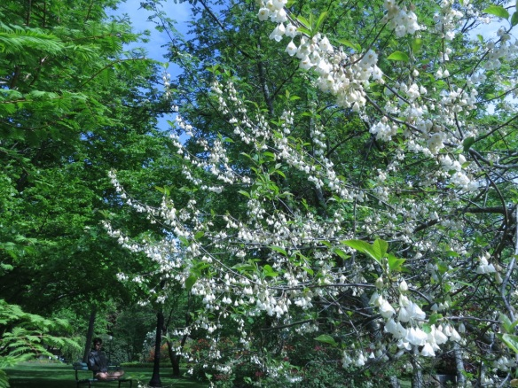 Halesia carolina (Carolina Silverbell) at the Halifax Public Gardens