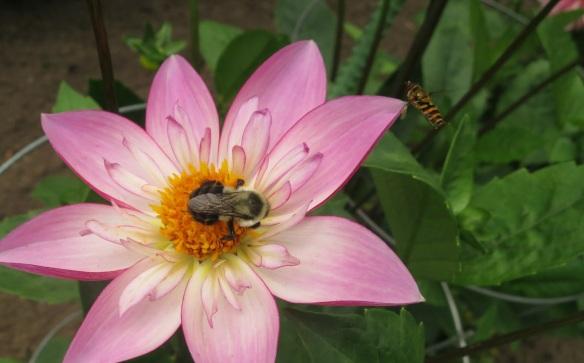 Bees!! @HfxPublicGarden
