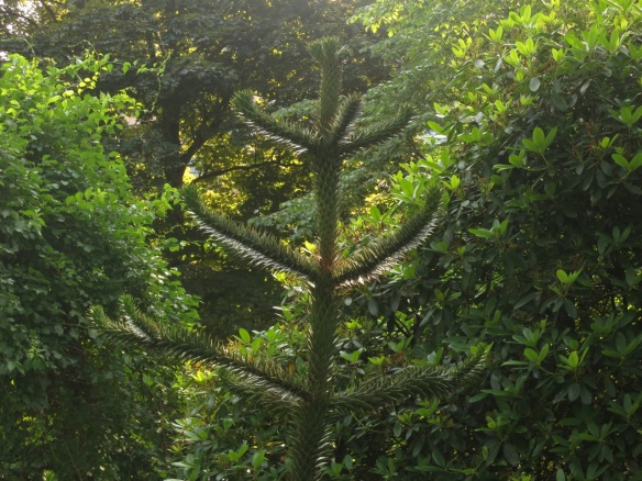 Araucaria araucana (Monkey Puzzle tree) at the Halifax Public Gardens