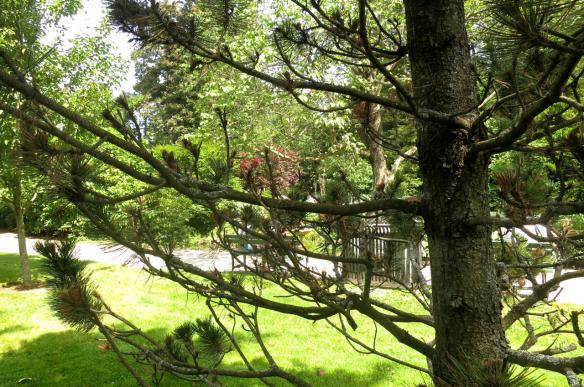 Pinus heldreichii var. leucodermis (Bosnian Pine) @HfxPublicGarden