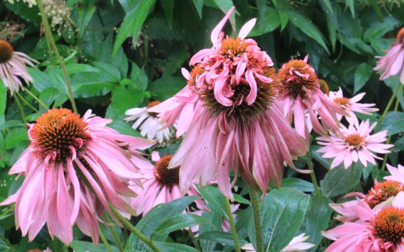 Echinacea gone wild at the Halifax Public Gardens