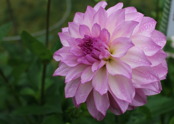 Glenmont Regan Dahlia at the Halifax Public Gardens