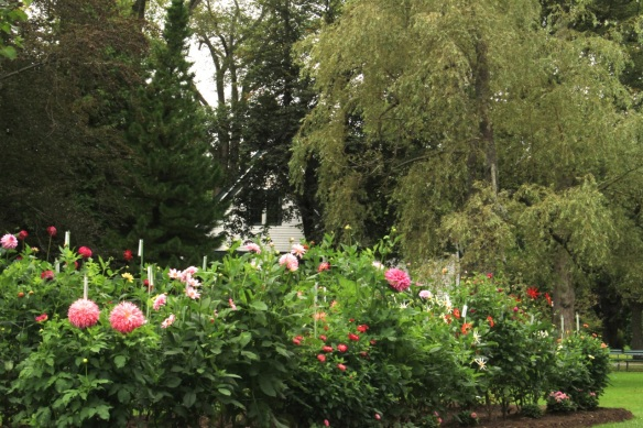 Dahlia bed at the Halifax Public Gardens