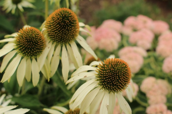 Echinacea at the Halifax Public Gardens
