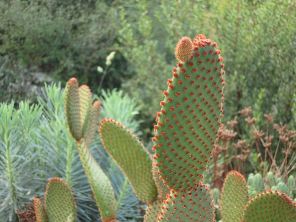 Opuntia (Prickly pear cactus) near Perpignan, France.