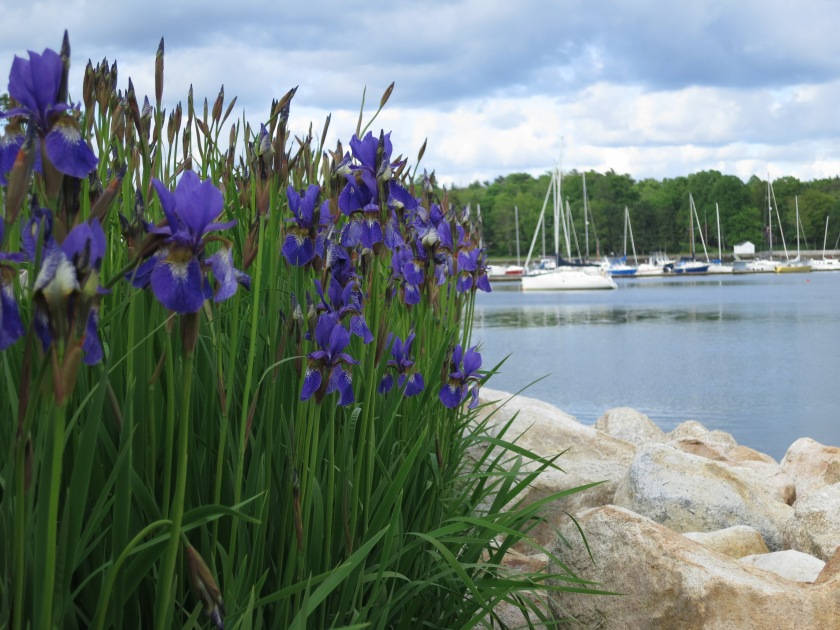 Flag (Iris) hedge by the ocean in Bedford NS.