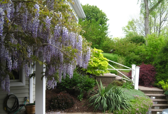 A wisteria in full bloom.