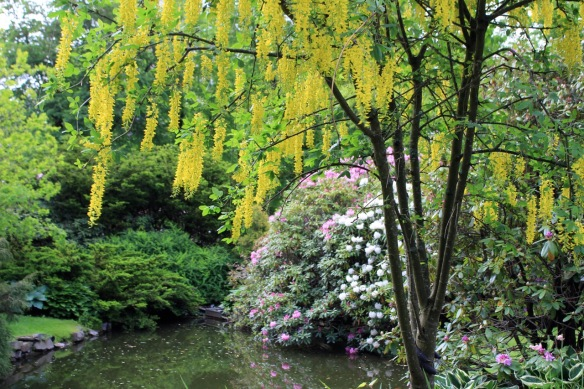 Laburnum (Golden chaintree) at the Halifax Public Gardens