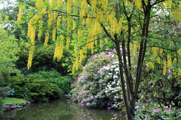 Laburnum (Golden chaintree) at the Halifax Public Gardens