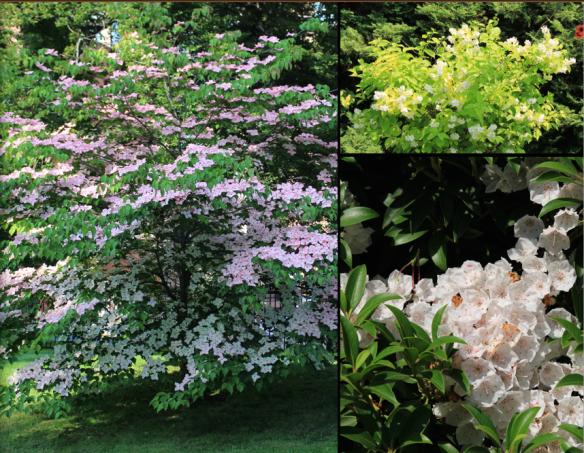 Flowering shrubs and trees at the Halifax Public Gardens. Cornus kousa (L), Philadelphus coronarius 'Aureus' (upper R), Kalmia (lower R).