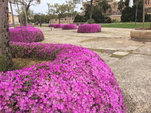 Raised planters planted with Hottentot Fig (Carpobrotus acinaciformis) in Palma de Mallorca