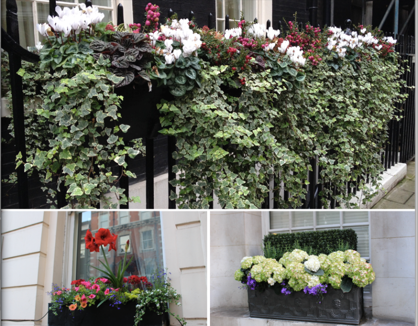 Window boxes in London.