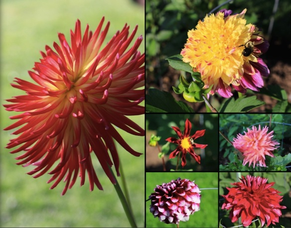 Dahlias in bloom in mid August at the Halifax Public Gardens