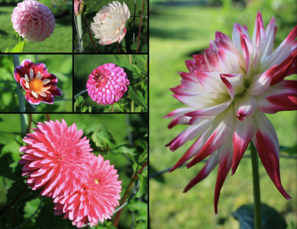 Some of the many Dahlias in bloom in mid August at the Halifax Public Gardens
