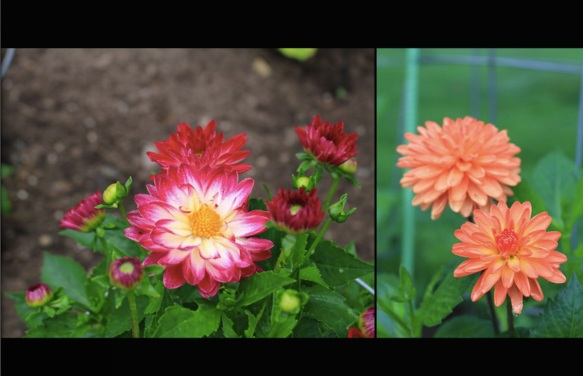 First Dahlias of the season at Halifax Public Gardens. Stillwater Raspberry and Longwood Dainty Dahlias.