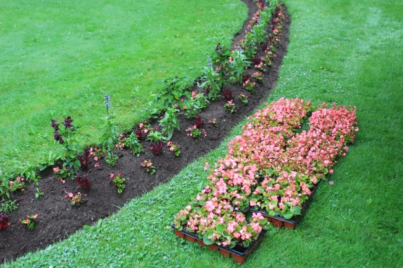 Planting Begonias in the Serpentine beds at the Halifax Public Gardens