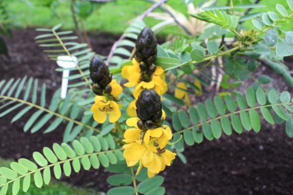 Senna didymobotrya (popcorn cassia) at the Halifax Public Gardens
