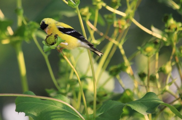 Gold finch at the Halifax Public Gardens