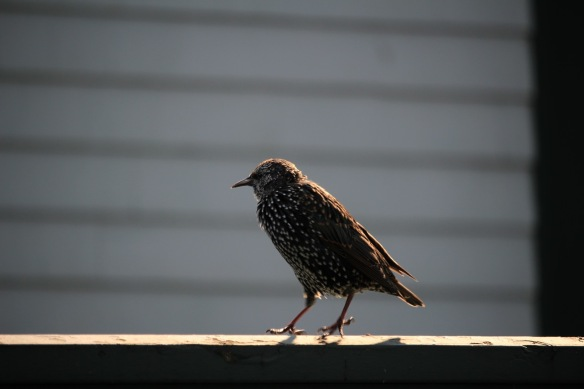 Starling at the Halifax Public Gardens