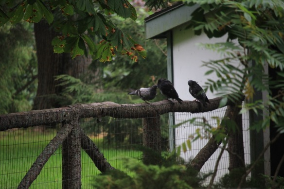 Pigeons at the Halifax Public Gardens