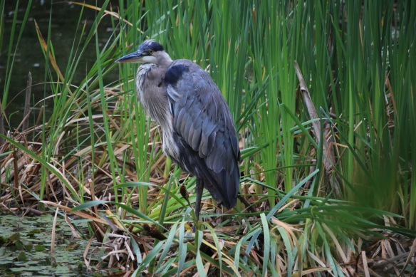 Blue heron at the Halifax Public Gardens