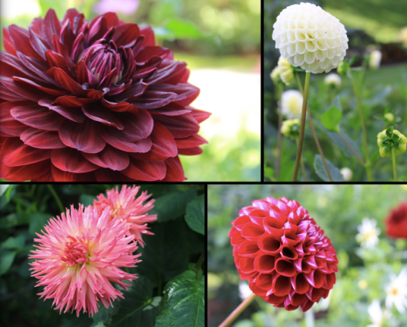 (Top Left) Hollyhill Blackwidow Dahlia, followed by gold winners (clockwise) Tiny Treasures, Cornel and Camano Puff Dahlias