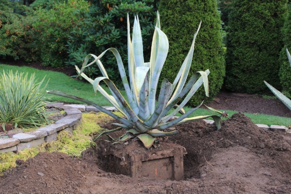 Agaves at the Halifax Public Gardens