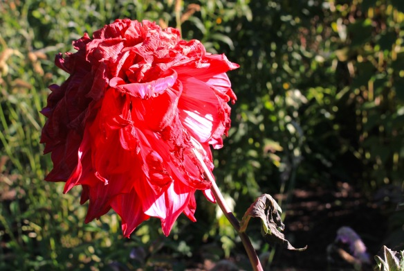Dahlia hit by frost at the Halifax Public Gardens