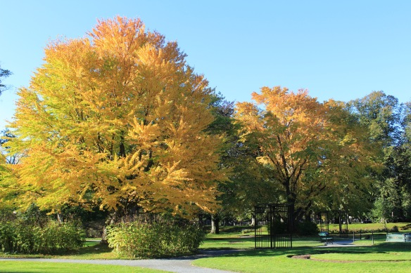 Cercidiphyllum japonicum (Katsura trees) at the Halifax Public Gardens