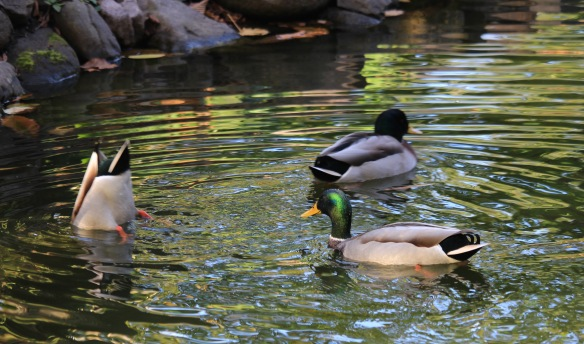Ducks frolicking at the Halifax Public Gardens