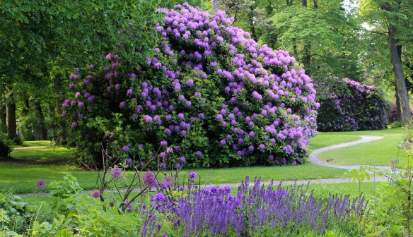 Rhododendrons at the Halifax Public Gardens